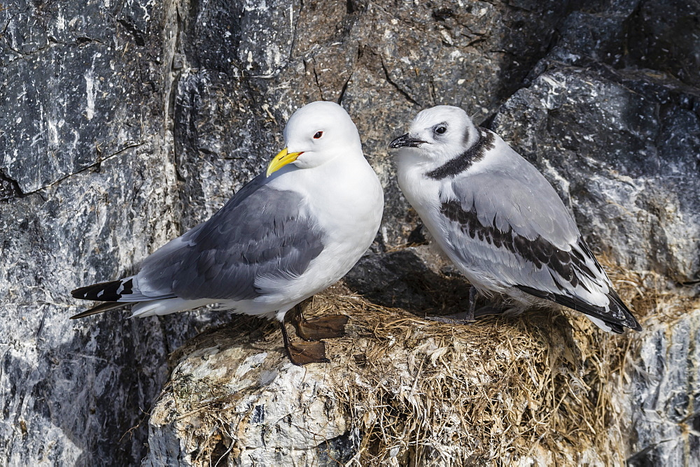 Adult and juvenile black-legged kittiwakes (Rissa tridactyla) nesting near Stykkishholmur on the Snaefellsnes Peninsula, Iceland, Polar Regions