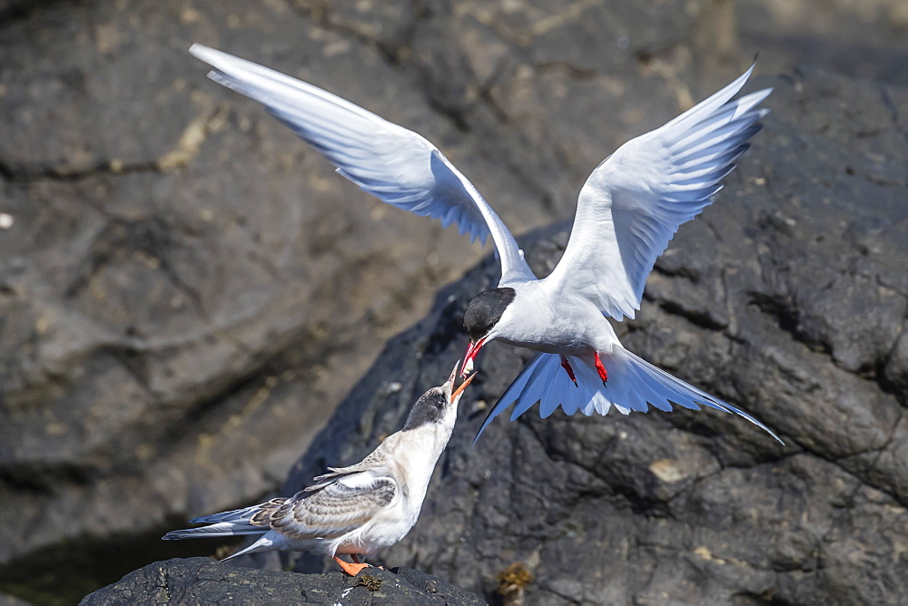Adult Arctic tern (Sterna paradisaea) returning from the sea with fish for its chick on Flatey Island, Iceland, Polar Regions
