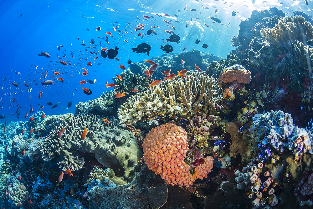 Profusion of hard and soft corals as well as reef fish underwater at Batu Bolong, Komodo National Park, Flores Sea, Indonesia, Southeast Asia, Asia