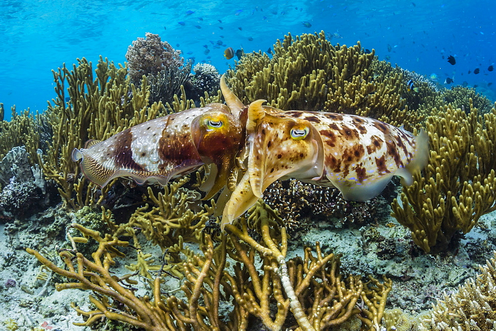 Adult broadclub cuttlefish (Sepia latimanus) mating on Sebayur Island, Flores Sea, Indonesia, Southeast Asia, Asia