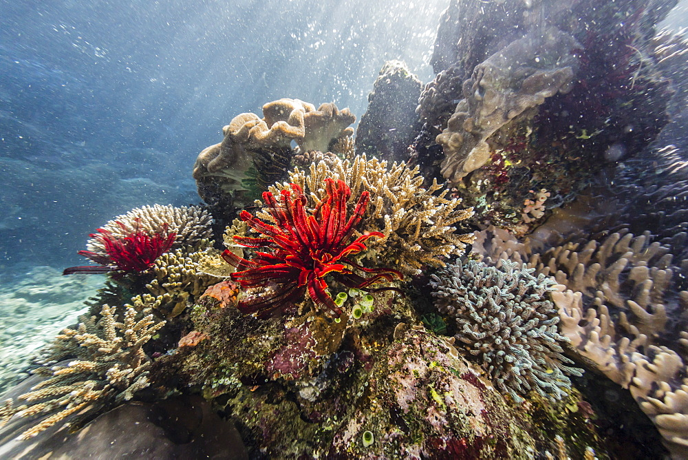 Red crinoid on Tengah Kecil Island, Komodo National Park, Flores Sea, Indonesia, Southeast Asia, Asia