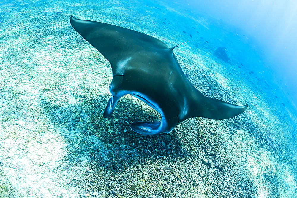 An adult manta ray (Manta birostris) at Makaser, Komodo National Park, Flores Sea, Indonesia, Southeast Asia, Asia