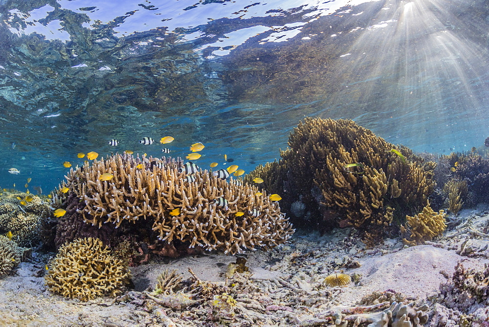 A profusion of hard and soft corals on Sebayur Island, Komodo National Park, Flores Sea, Indonesia, Southeast Asia, Asia
