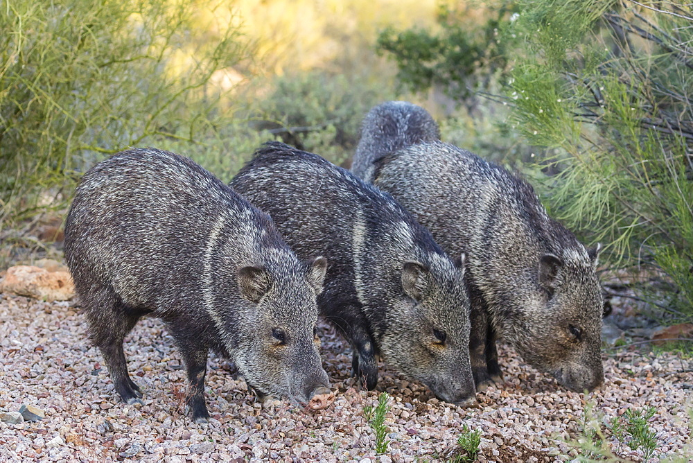 Adult javalinas (collared peccary) (Pecari tajacu) in the Sonoran Desert suburbs of Tucson, Arizona, United States of America, North America