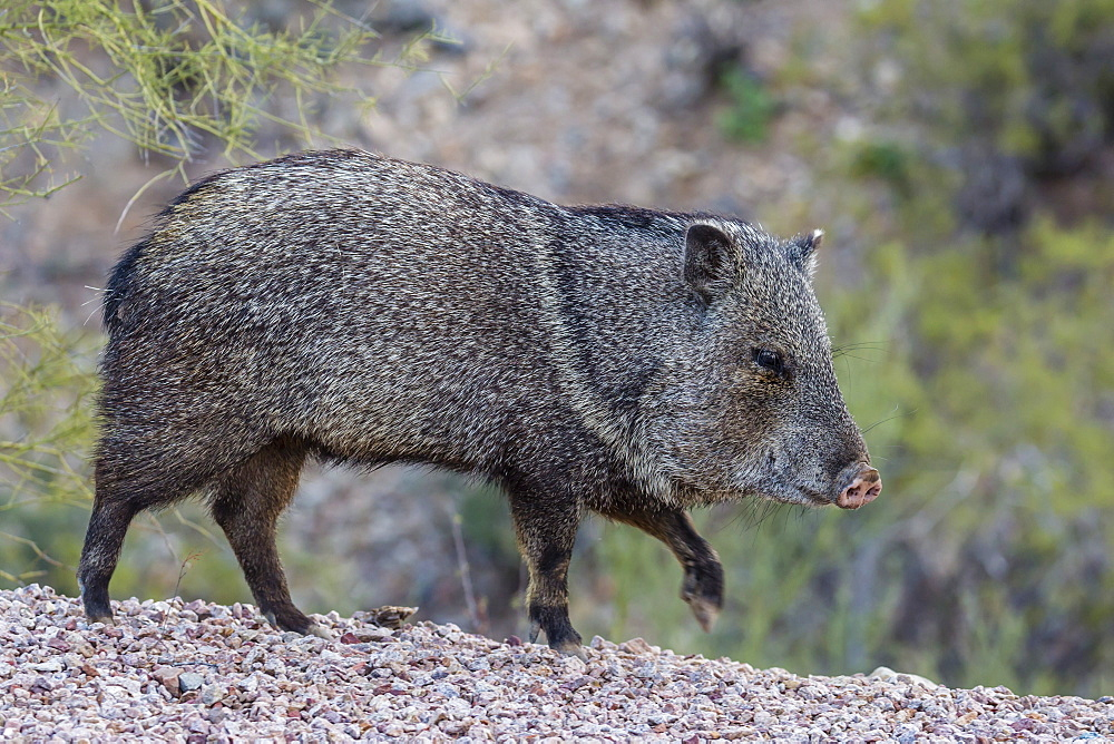 Adult javalina (collared peccary) (Pecari tajacu) in the Sonoran Desert suburbs of Tucson, Arizona, United States of America, North America