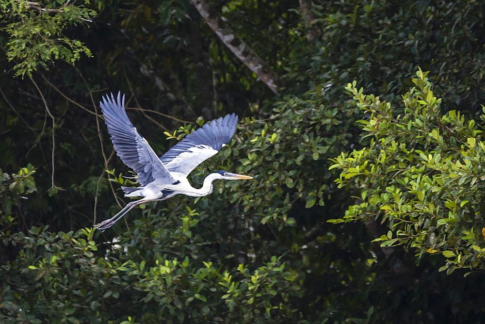 Adult Cocoi heron (Ardea cocoi) in flight on the Pacaya River, Upper Amazon River Basin, Loreto, Peru, South America