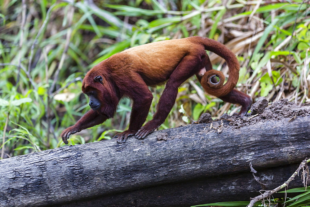 Adult red howler monkey (Alouatta seniculus), San Miguel Cao, Loreto, Peru, South America