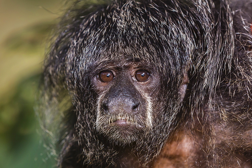 Captive adult Monk saki (Pithecia monachus), San Francisco Village, Loreto, Peru, South America