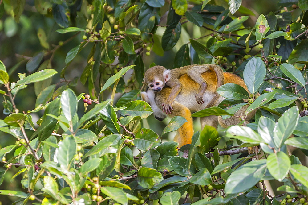 Mother common squirrel monkey (Saimiri sciureus) with infant in the trees on the Nauta Cao, Loreto, Peru, South America