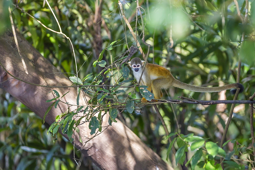 Adult common squirrel monkey (Saimiri sciureus), in the Pacaya-Samiria Nature Reserve, Loreto, Peru, South America
