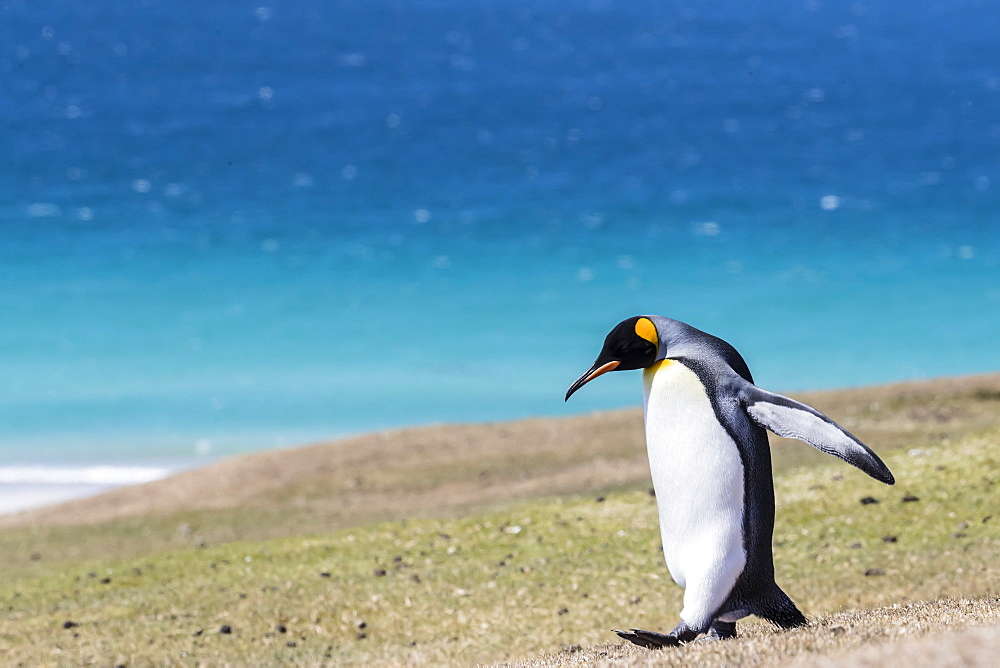 Adult king penguin (Aptenodytes patagonicus) on the grassy slopes of Saunders Island, Falkland Islands, South America