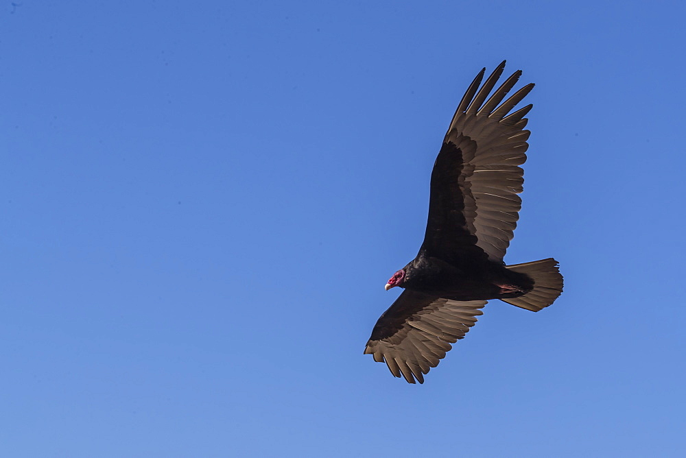 Adult turkey vulture (Cathartes aura) in flight over Saunders Island, Falkland Islands, South America