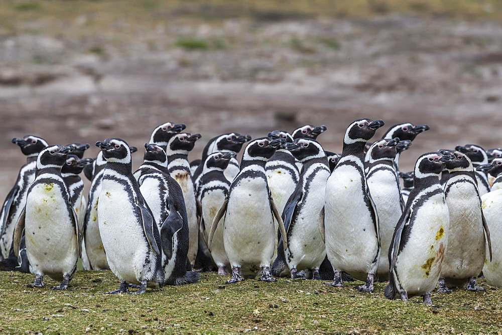 Magellanic penguin (Spheniscus magellanicus) breeding colony on Carcass Island, Falkland Islands, South America