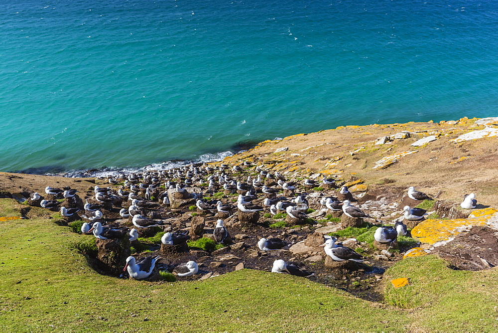 Black-browed albatross (Thalassarche melanophris) breeding colony on Saunders Island, Falkland Islands, South America