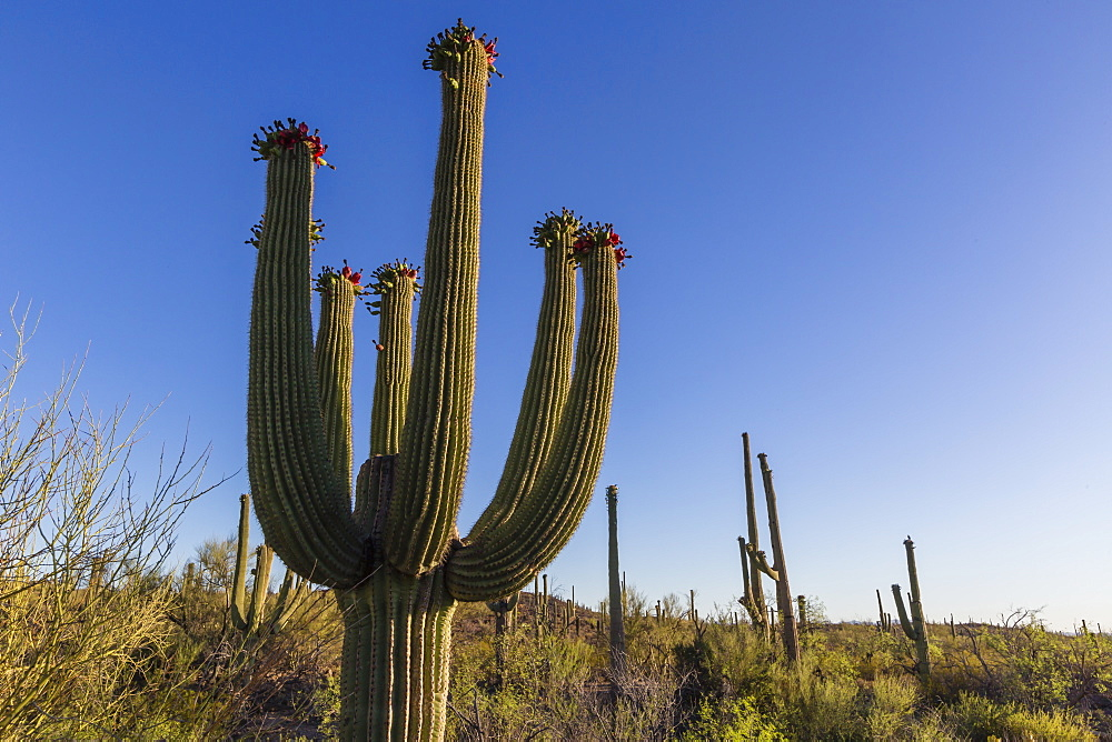 Sunrise on saguaro cactus in bloom (Carnegiea gigantea), Sweetwater Preserve, Tucson, Arizona, United States of America, North America