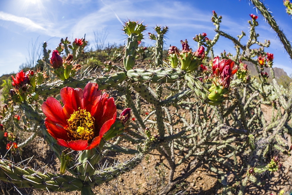 Flowering cholla cactus (Cylindropuntia spp), in the Sweetwater Preserve, Tucson, Arizona, United States of America, North America