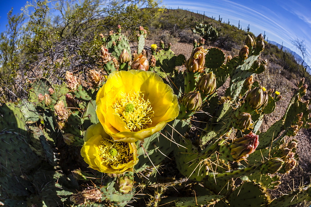Flowering prickly pear cactus (Opuntia ficus-indica), in the Sweetwater Preserve, Tucson, Arizona, United States of America, North America