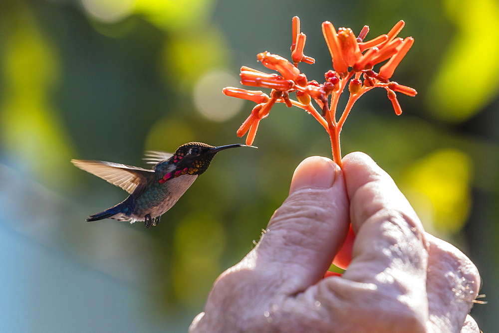 A wild adult male bee hummingbird (Mellisuga helenae), attracted to hand-held flower near Playa Larga, Cuba, West Indies, Caribbean, Central America
