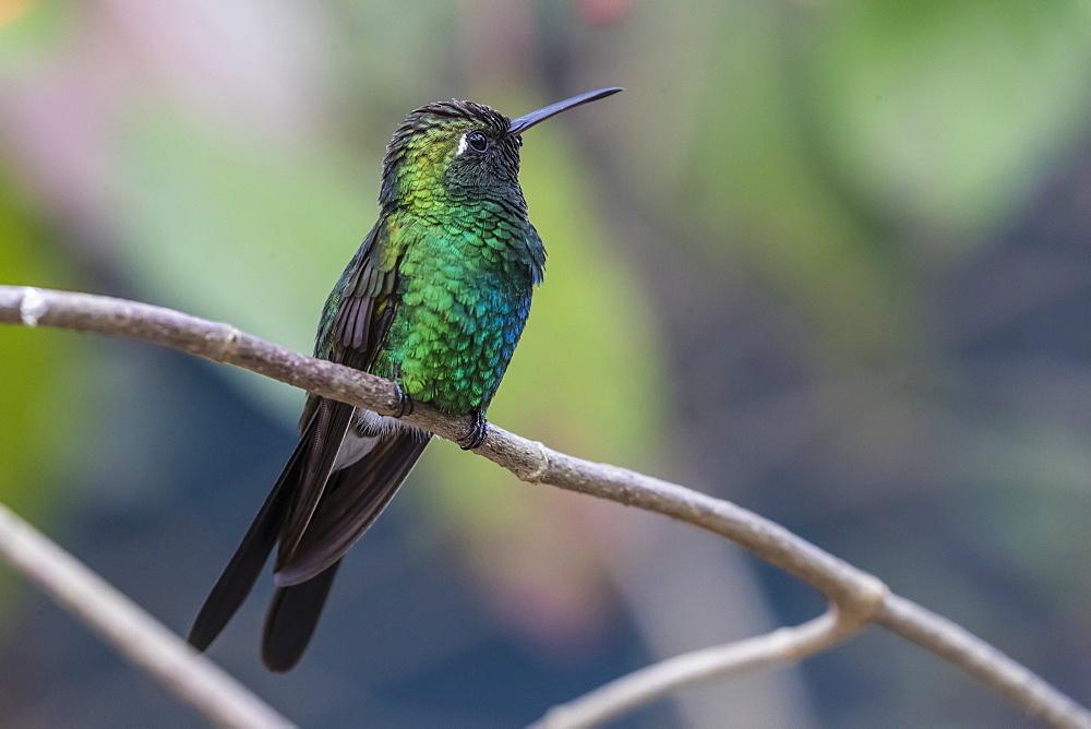 A wild adult Cuban emerald hummingbird (Chlorostilbon ricordii), Zapata National Park, Cuba, West Indies, Caribbean, Central America