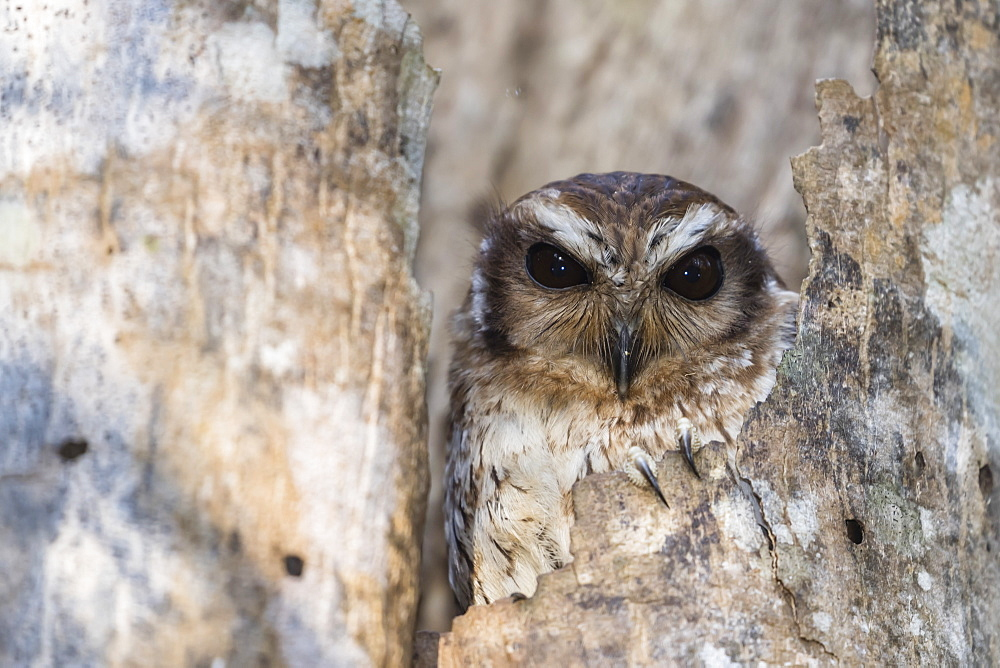 A wild adult bare-legged owl (Margarobyas lawrencii), endemic to Cuba, Zapata National Park, Cuba, West Indies, Caribbean, Central America