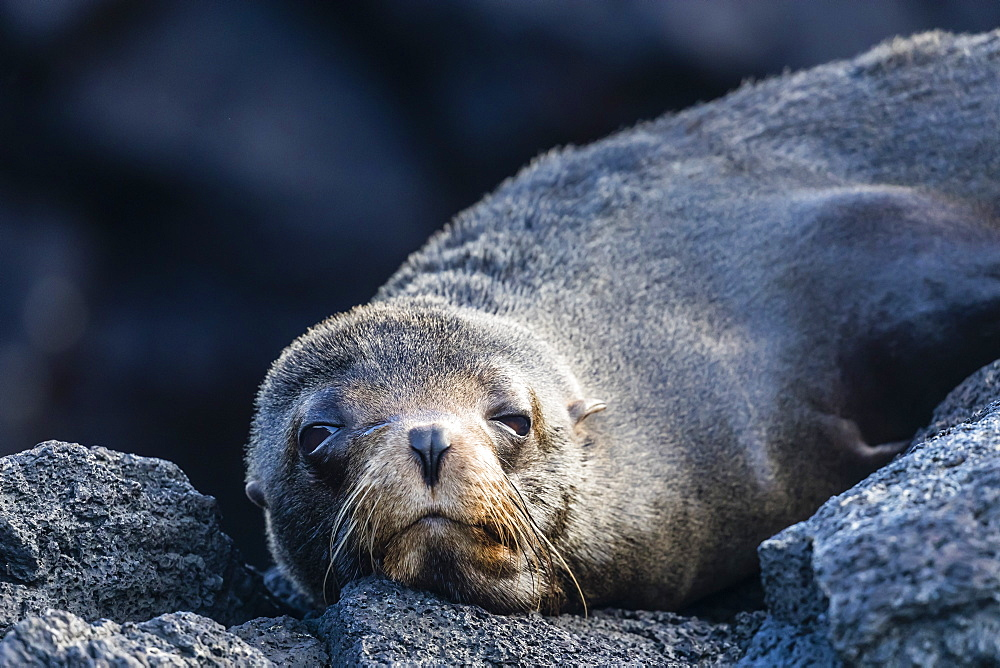 Adult Galapagos fur seal (Arctocephalus galapagoensis), hauled out on Santiago Island, Galapagos, Ecuador, South America