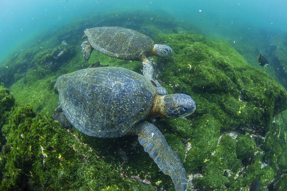 Pacific green sea turtles (Chelonia mydas) underwater on Fernandina Island, Galapagos, Ecuador, South America