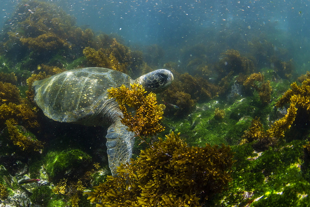Pacific green sea turtle (Chelonia mydas) underwater on Fernandina Island, Galapagos, Ecuador, South America
