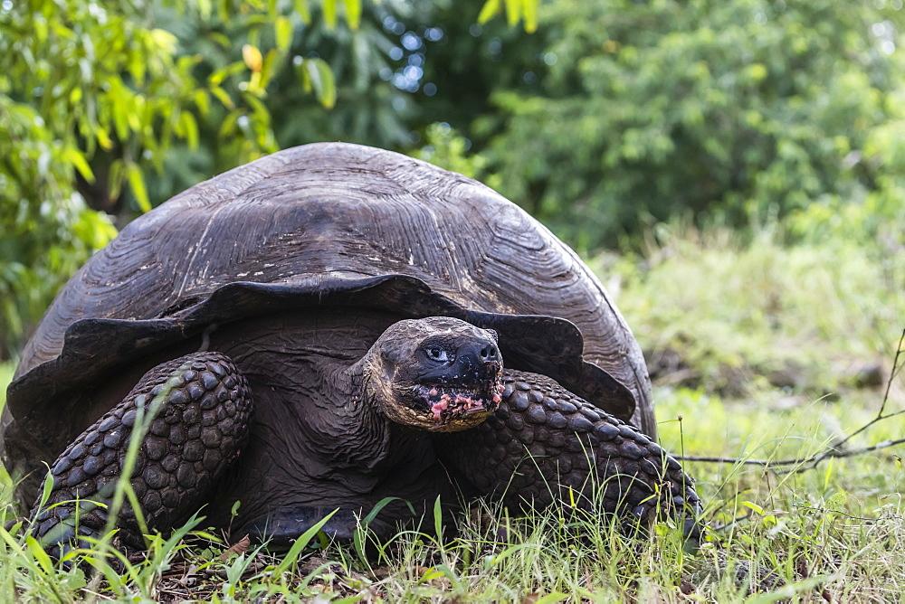 Wild Galapagos giant tortoise (Geochelone elephantopus), Santa Cruz Island, Galapagos, Ecuador, South America - 1112-3449
