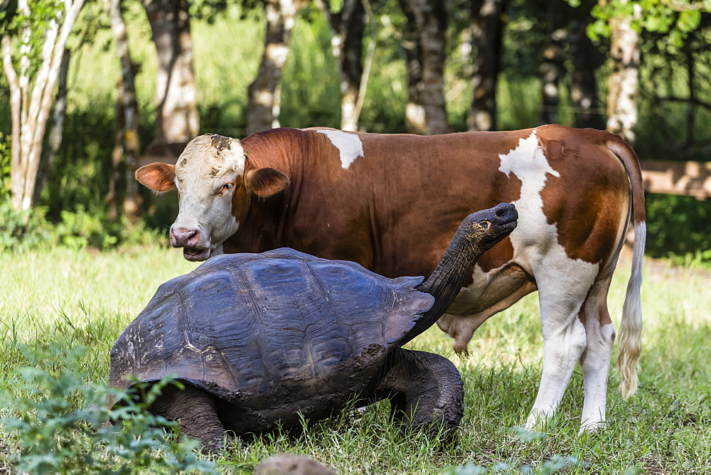 Wild Galapagos giant tortoise (Geochelone elephantopus) with cow on Santa Cruz Island, Galapagos, Ecuador, South America