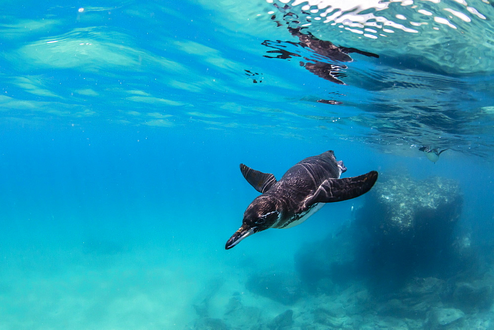 Galapagos penguin (Spheniscus mendiculus) swimming underwater at Bartolome Island, Galapagos, Ecuador, South America