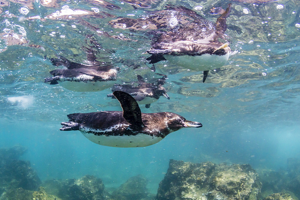 Galápagos penguins, Spheniscus mendiculus, swimming underwater at Bartolomé Island, Galápagos, Ecuador.