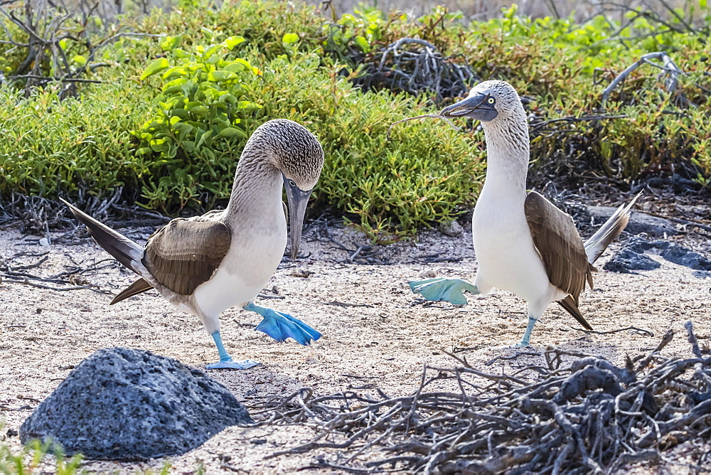 Blue-footed booby (Sula nebouxii) pair in courtship display on North Seymour Island, Galapagos, Ecuador, South America
