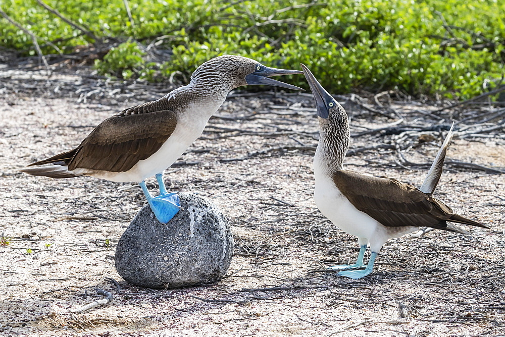 Blue-footed booby (Sula nebouxii) pair in courtship display on North Seymour Island, Galapagos, Ecuador, South America - 1112-3457
