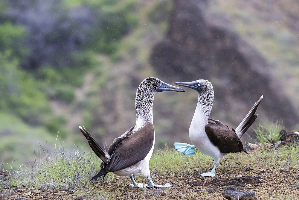 Blue-footed booby (Sula nebouxii) pair in courtship display on San Cristobal Island, Galapagos, Ecuador, South America - 1112-3458