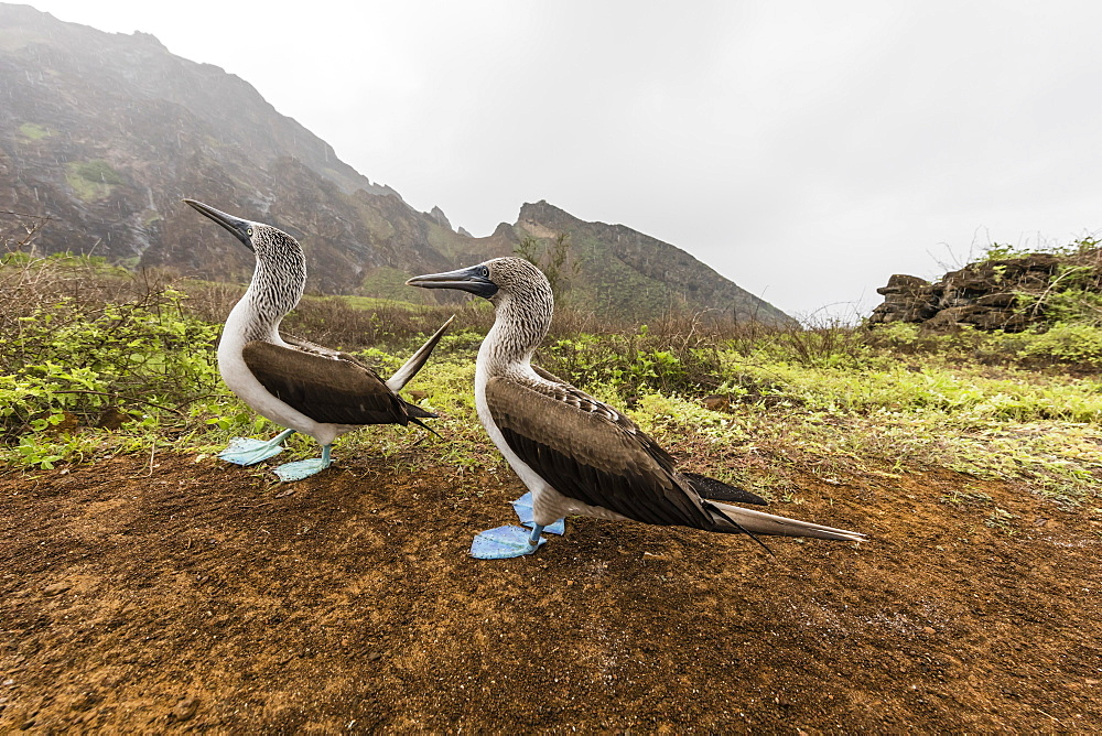 Blue-footed booby (Sula nebouxii) pair in courtship display on San Cristobal Island, Galapagos, Ecuador, South America - 1112-3459