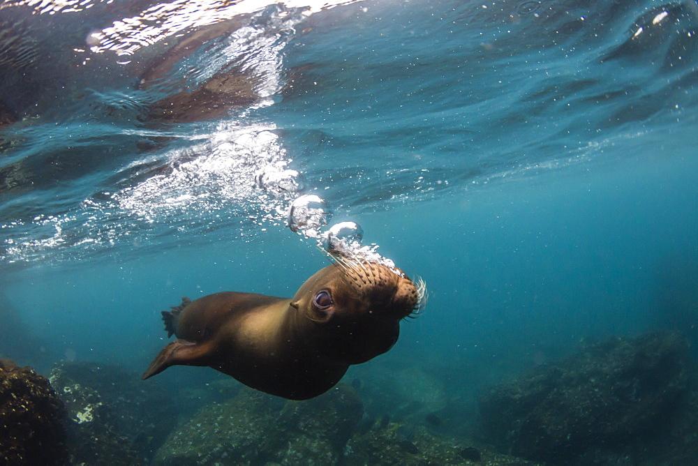 Galapagos sea lion (Zalophus wollebaeki) underwater at Santiago Island, Galapagos, Ecuador, South America