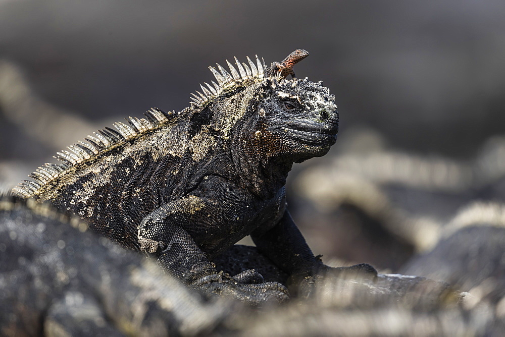 The endemic Galapagos marine iguana (Amblyrhynchus cristatus), with lava lizard, Fernandina Island, Galapagos, UNESCO World Heritage Site, Ecuador, South America