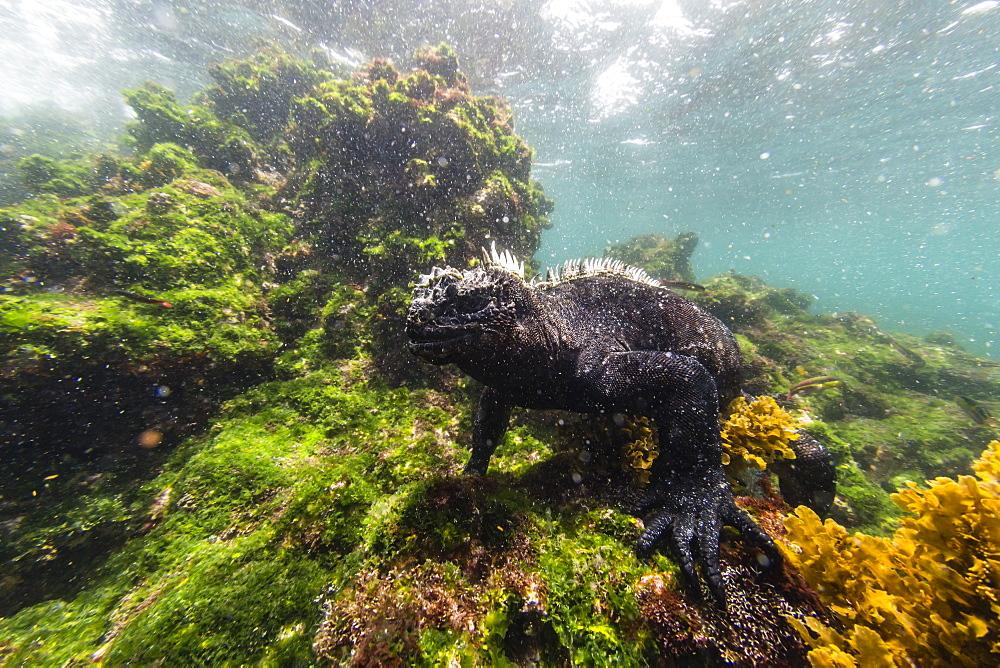 The endemic Galapagos marine iguana (Amblyrhynchus cristatus) feeding underwater, Fernandina Island, Galapagos, UNESCO World Heritage Site, Ecuador, South America