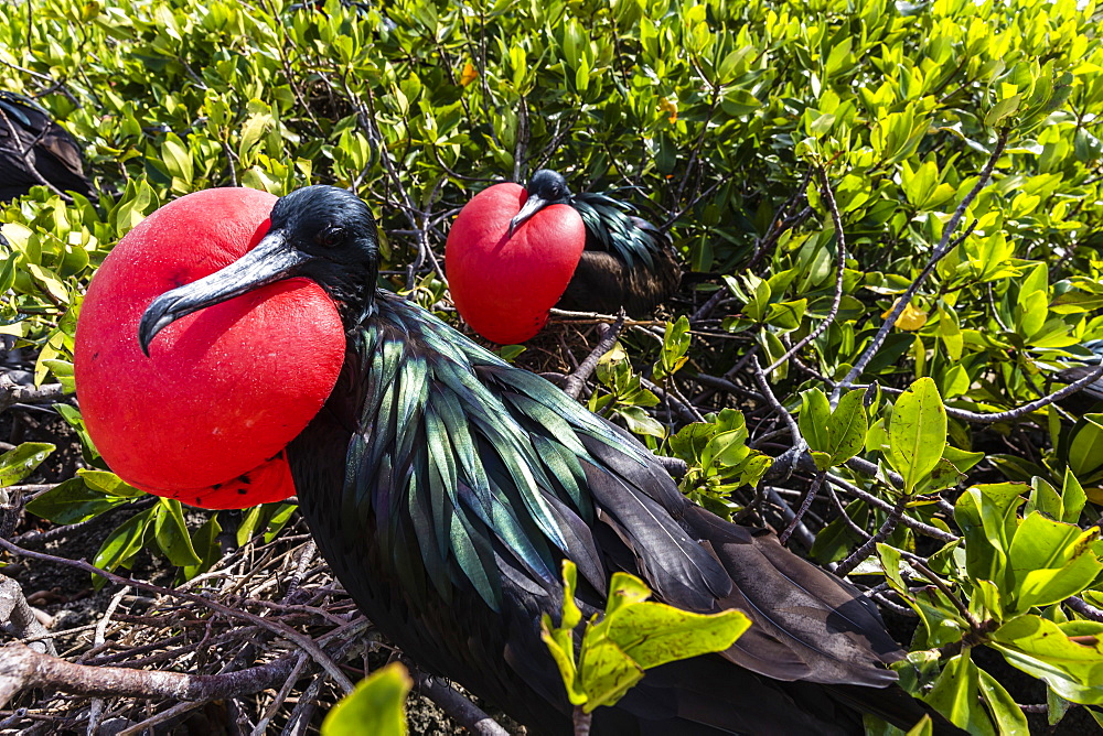 Adult male great frigatebirds (Fregata minor), courtship display. Genovesa Island, Galapagos, UNESCO World Heritage Site, Ecuador, South America