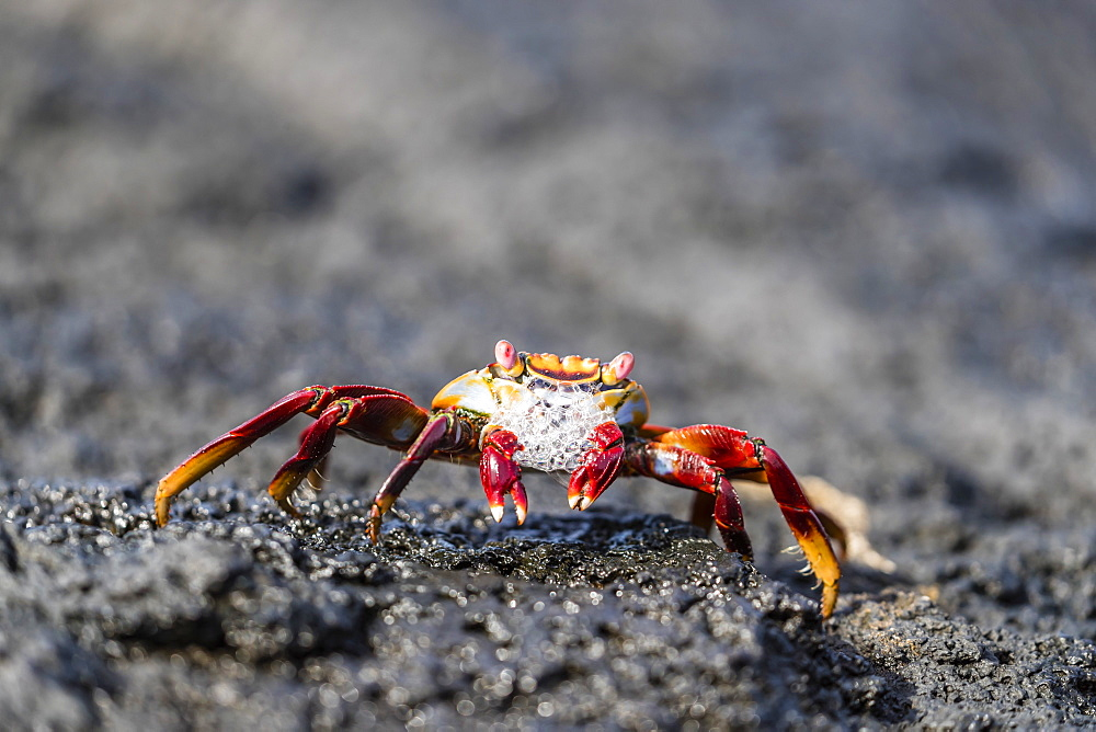 Adult Sally lightfoot crab, Grapsus grapsus, preparing to molt on Fernandina Island, Galápagos, Ecuador.