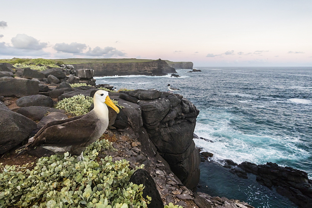 Adult waved albatross (Phoebastria irrorata), on Punta Suarez, Isla Espanola, Galapagos, UNESCO World Heritage Site, Ecuador, South America