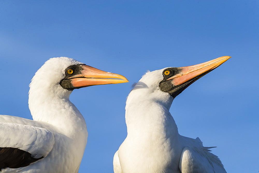 Nazca booby (Sula granti), pair at Punta Suarez, Isla Espanola, Galapagos, UNESCO World Heritage Site, Ecuador, South America