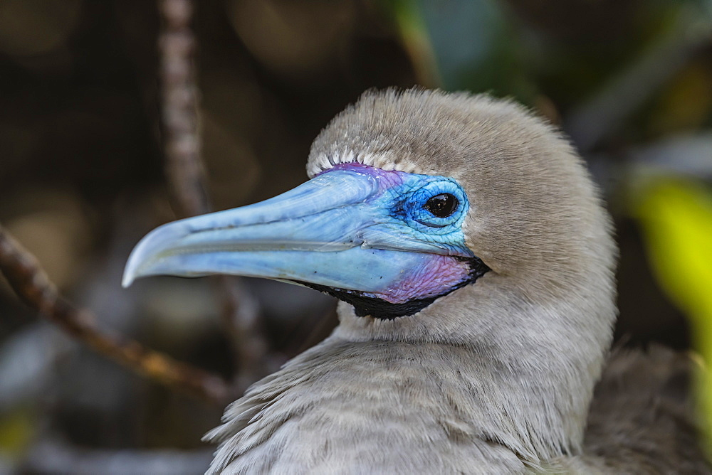 Adult red-footed booby (Sula sula), on Genovesa Island, Galapagos, UNESCO World Heritage Site, Ecuador, South America