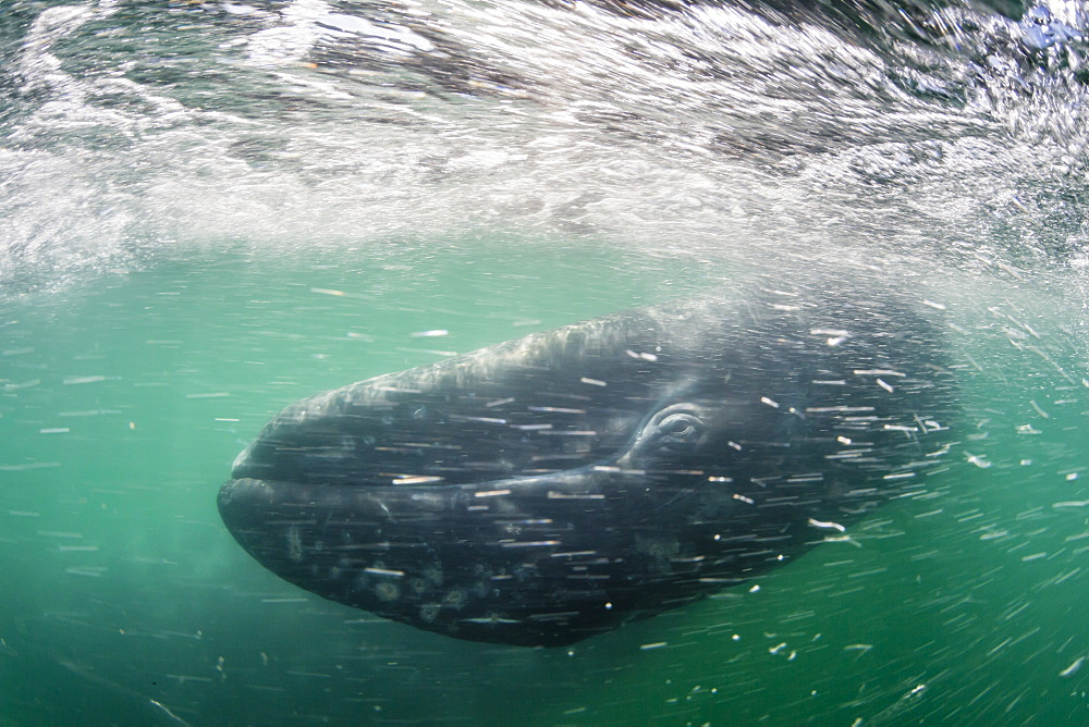 California gray whale calf (Eschrichtius robustus) underwater in San Ignacio Lagoon, Baja California Sur, Mexico, North America