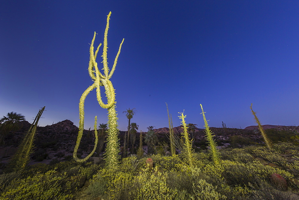 Boojum (Cirio) (Fouquieria columnaris) tree at sunset, Rancho Santa Inez, Baja California, Mexico, North America