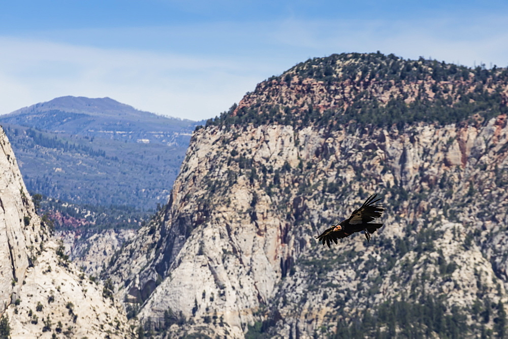 An adult California condor in flight on Angel's Landing Trail in Zion National Park, Utah, USA.