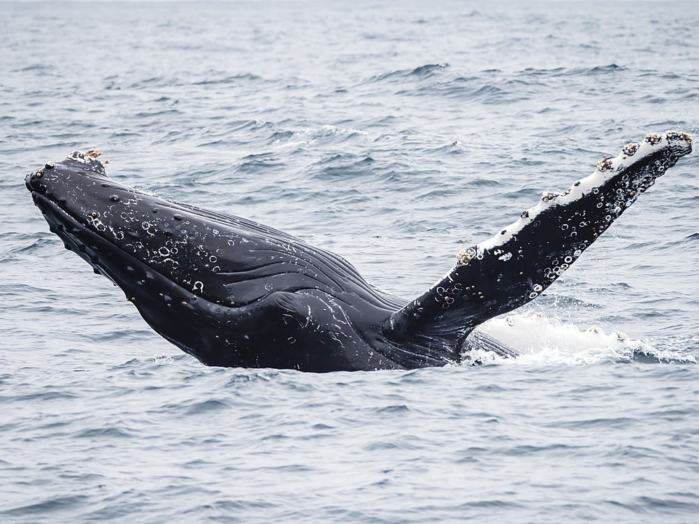 Humpback whale (Megaptera novaeangliae) breaching in the Monterey Bay National Marine Sanctuary, California, United States of America, North America