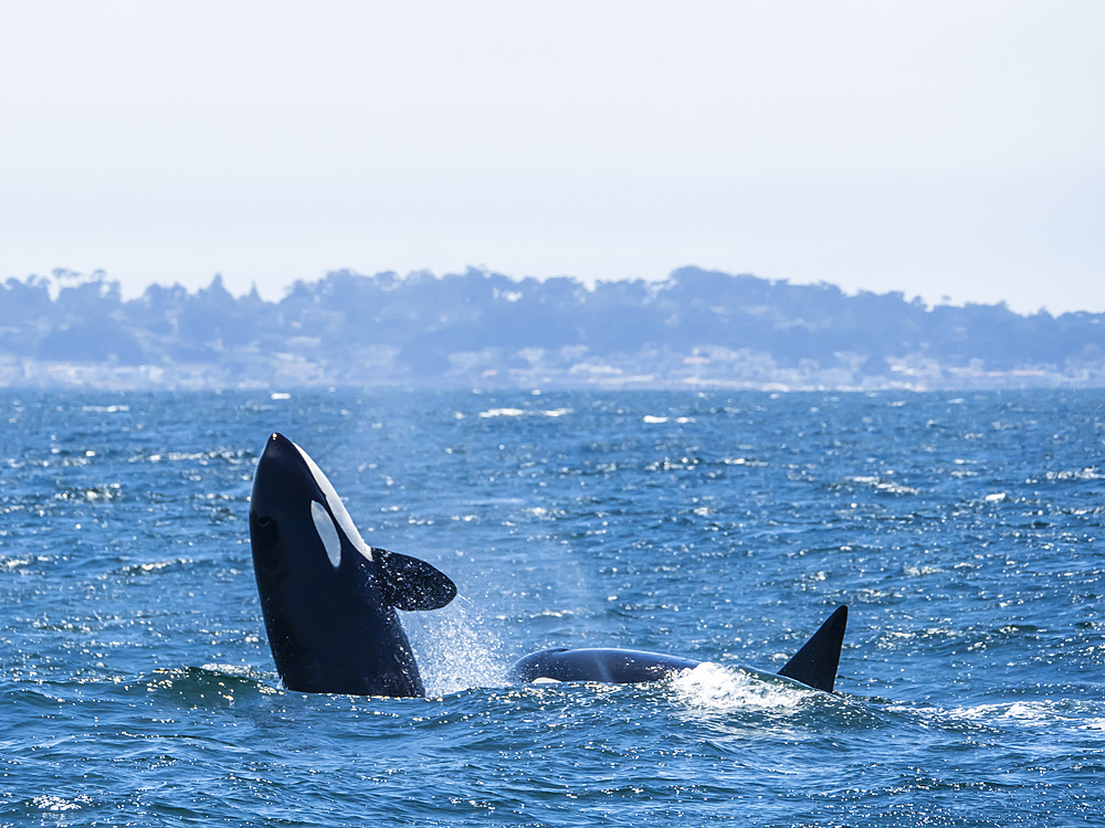 Transient killer whale (Orcinus orca) breaching in the Monterey Bay National Marine Sanctuary, California, United States of America, North America