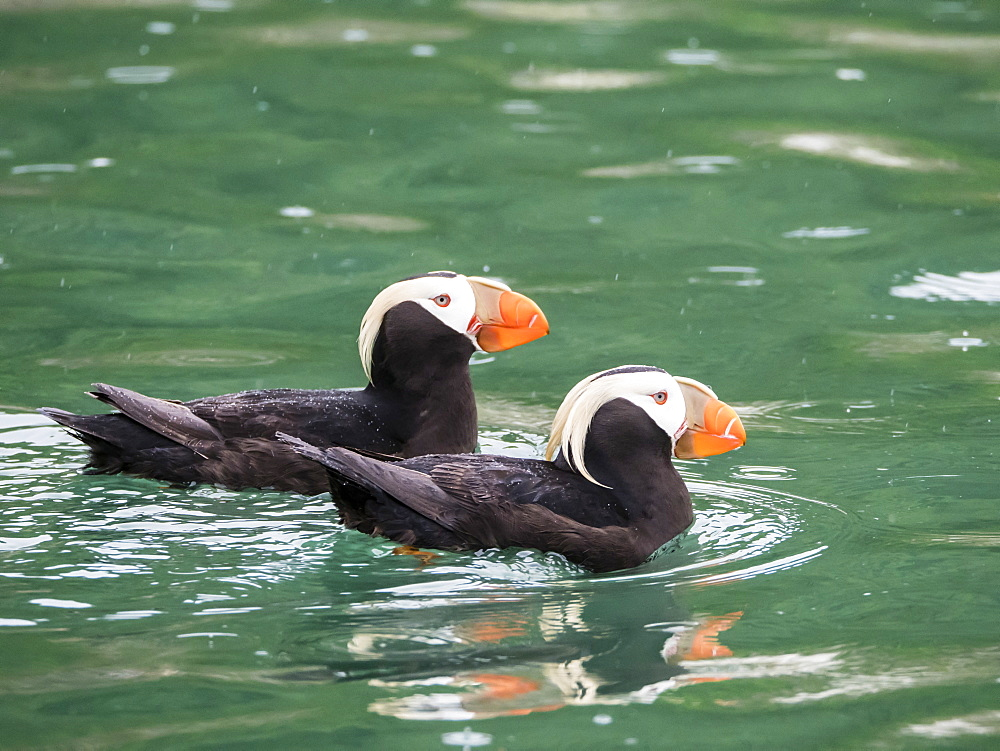 A pair of tufted puffins, Fratercula cirrhata, South Marble Island, Glacier Bay National Park, Southeast Alaska, USA.