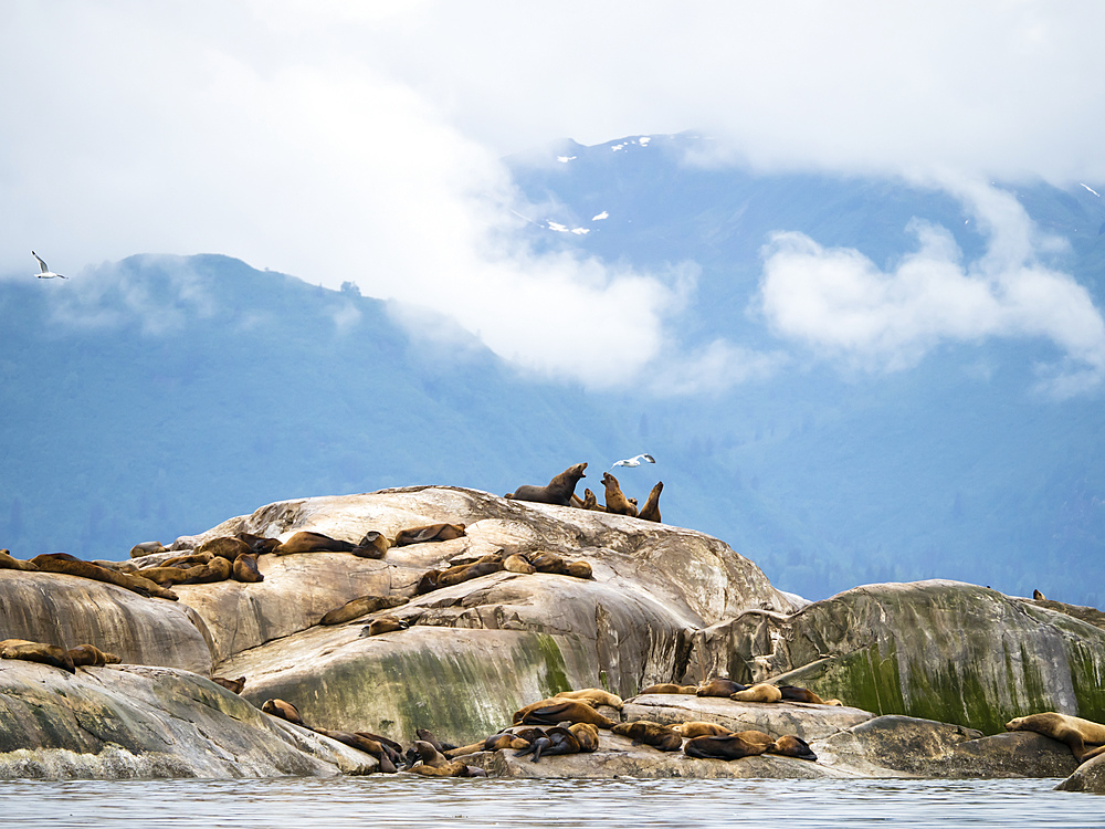 Steller sea lions, Eumetopias jubatus, hauled out on South Marble Island, Glacier Bay National Park, Alaska, USA.